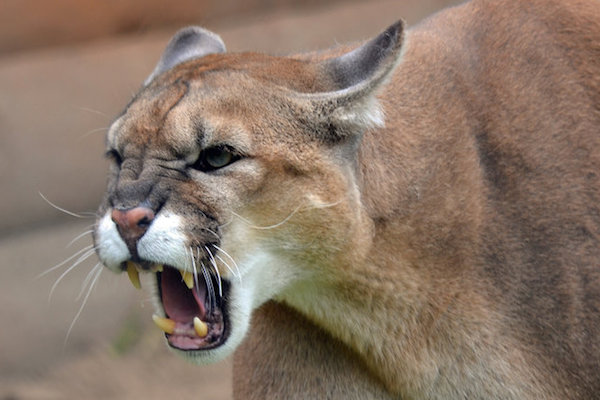 The cougar, also known as mountain lion, panther or puma