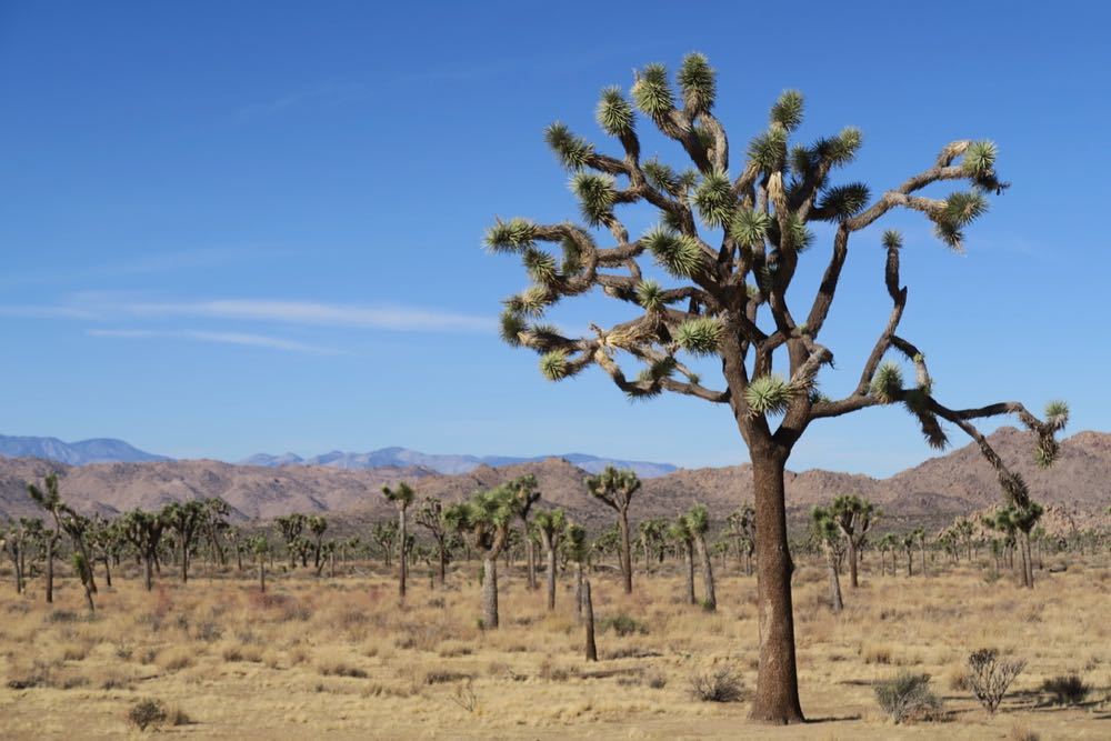"Early European settles thought the Joshua Tree plant looked like the profit ""Joshua"" with his arm spread."